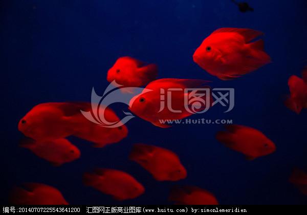 血鹦鹉(发财鱼)